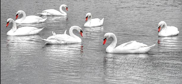 7-swans